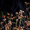 California Buckwheat...