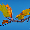 Colorful leaves and blue sky...
