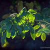Backlit Leaves...