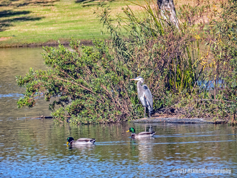 Great Blue Heron and friends...