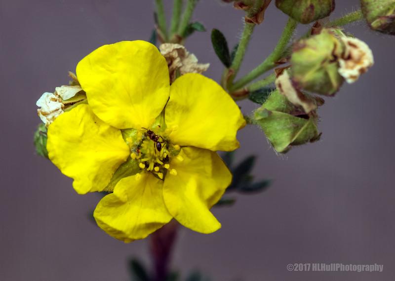 Monkey Flower...
