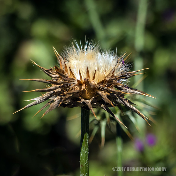 Dried-up thistle...