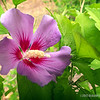 Common Hibiscus...