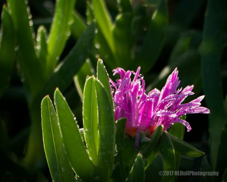 Ice plant...