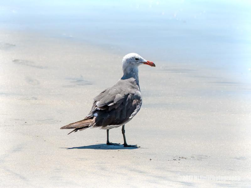 Heermann's gull...