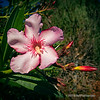Oleander flower and buds...