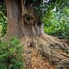 Big Tree...