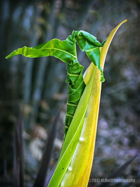 Emerging philodendron leaf...
