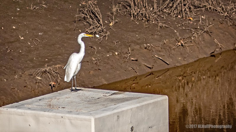 Great egret..