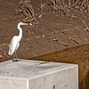 Great egret..