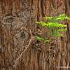 Redwood...