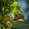 Monarch butterfly...