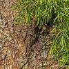 Fern Pine......