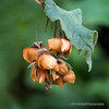 Seed pods...