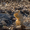 Western gray squirrel...