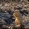 Western gray squirrel...