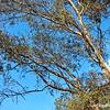 Eucalyptus...