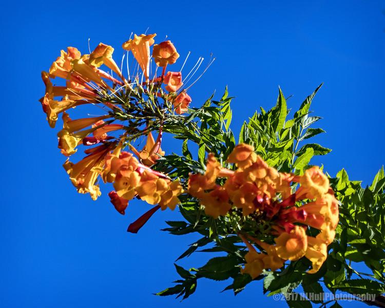 Tecoma Orange Jubilee......