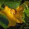 Squash Blossom...