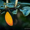 Golden leaf...