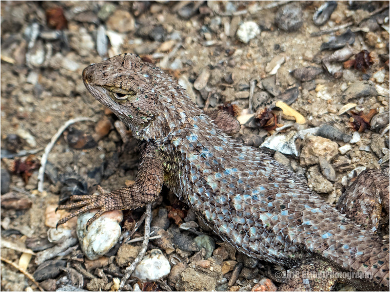 Lizard...