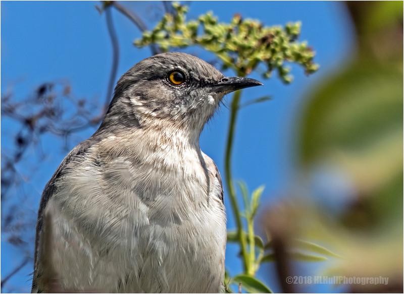 Mockingbird...