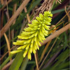 Dwarf Yellow Poker Plant...
