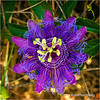 Passion Flower...