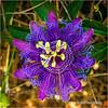 Passion Flower...