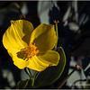 Channel Island bush poppy...