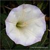 Jimsonweed bloom...