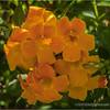 Orange Jubilee...