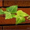 Ivy...