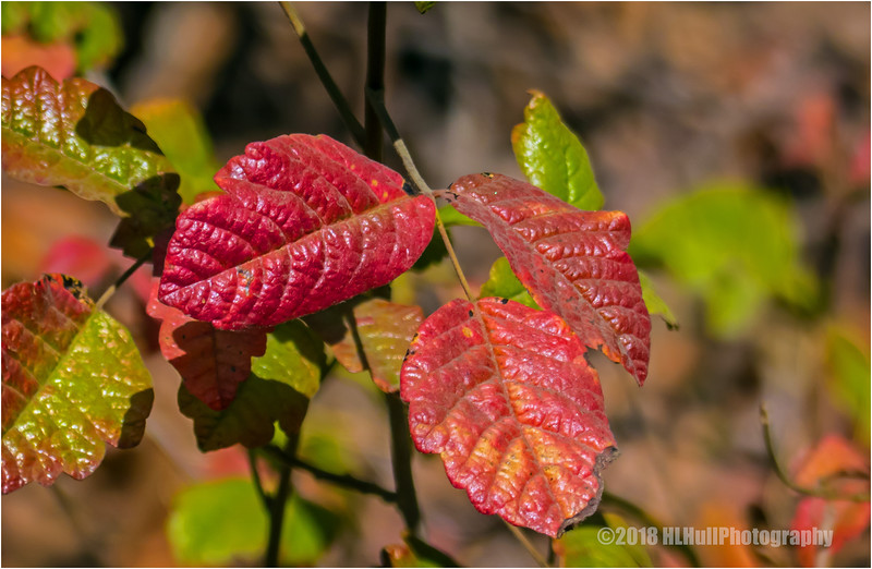 Poison Oak...