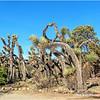 Yucca...