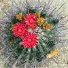 Barrel Cactus...