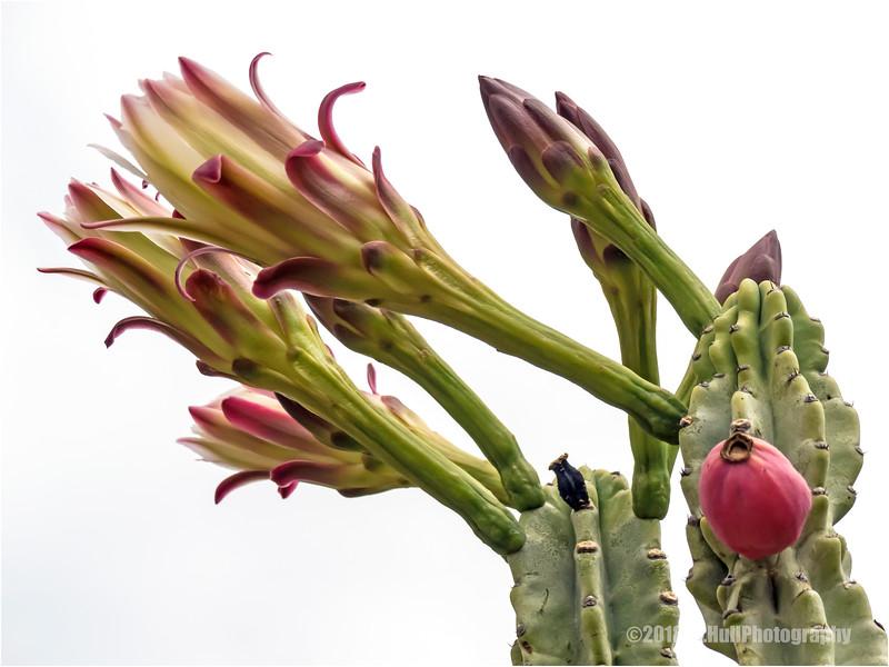 Peruvian apple cactus...