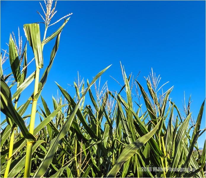 Corn stalks...