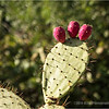 Prickly pear...