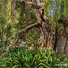 California Pepper Tree... (Schinus molle)