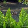 Mallard duck (female)...