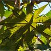 Backlit leaves...