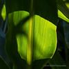 Backlit corn stalk leaf...