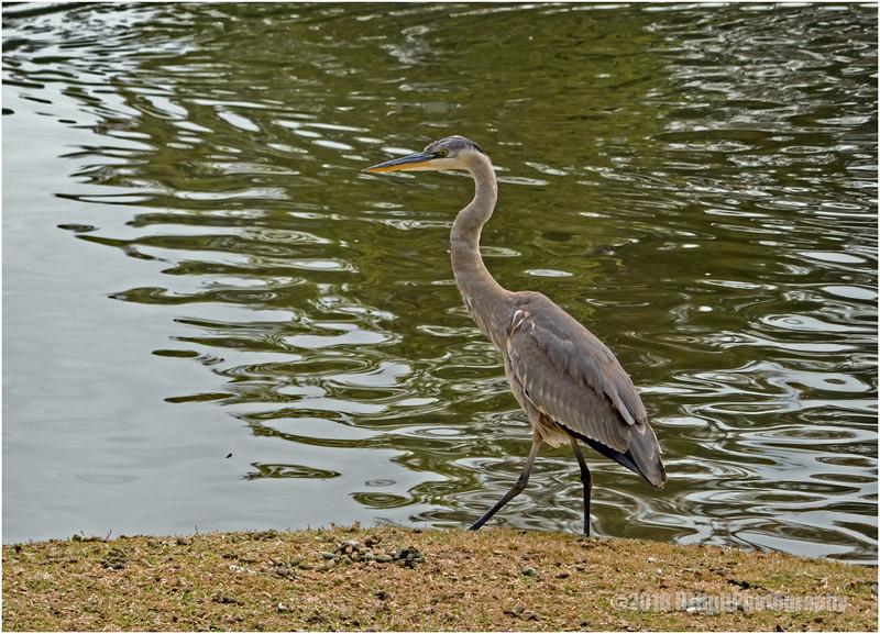 Great blue heron...