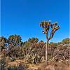 Yucca tree...