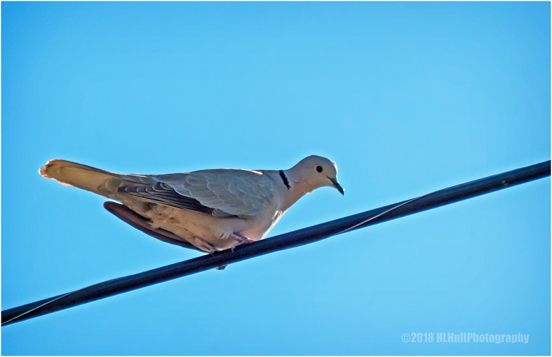 Eurasian collared dove...