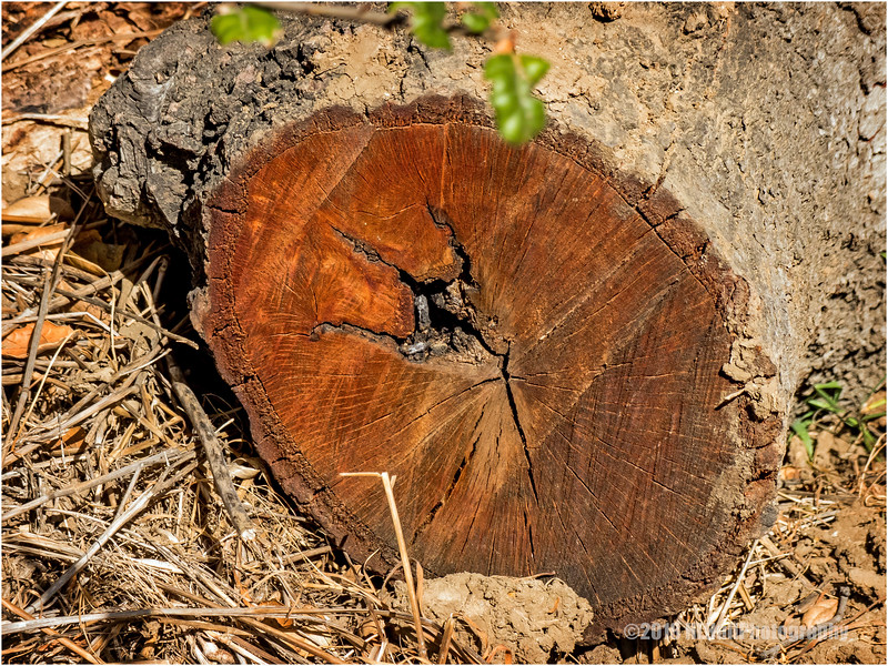Oak...