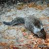 Gray squirrel...