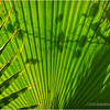 Palm frond...