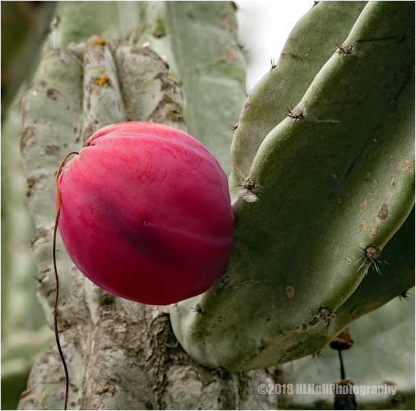 Peruvian apple cactus...